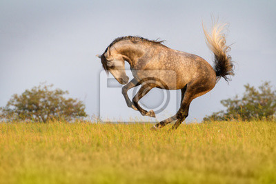 Graues Pferd laufen