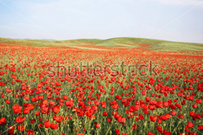 Sticker green and red beautiful poppy flower field background
