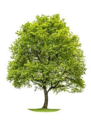 Sticker Green oak tree isolated on white background. Nature object