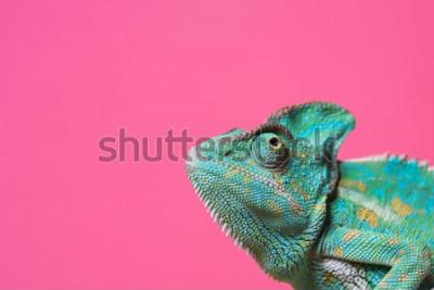 Sticker Großaufnahme des netten bunten exotischen Chamäleons lokalisiert auf Rosa