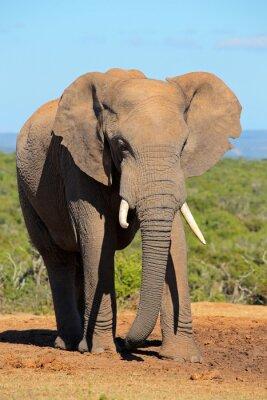 Sticker Große afrikanische Elefantenbulle (Loxodonta africana), Addo Elefanten-Nationalpark, Südafrika.