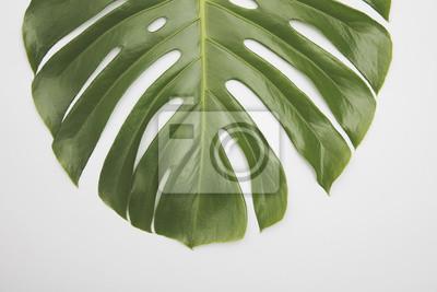 Große grüne tropische Blatt von der Monstera-Pflanze