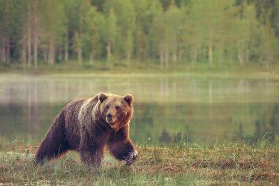 Sticker Großer männlicher Bär zu Fuß im Moor bei Sonnenuntergang