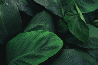 Sticker Großes Laub des tropischen Blattes mit dunkelgrüner Beschaffenheit, abstrakter Naturhintergrund.