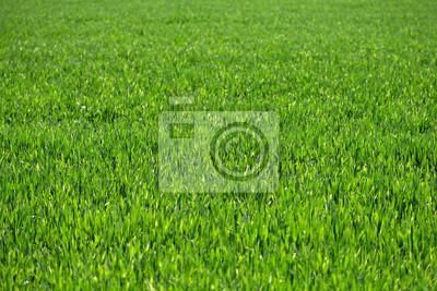 grüne Gras