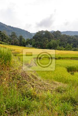 Grüne und gelbe Schritt / terassenförmigen Reisfeld in Chiangmai, Thailand