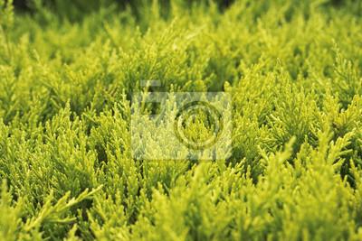 Grüner Arborvitehintergrund.