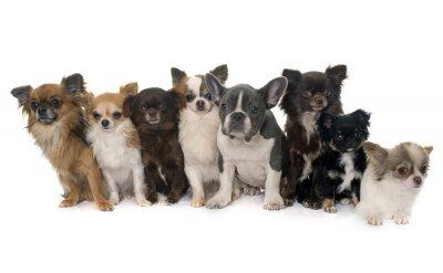 Sticker Gruppe von Chihuahua