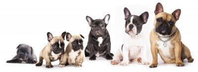 Sticker Gruppe von Französisch Bulldogs alle Altersklassen vor weißem Hintergrund