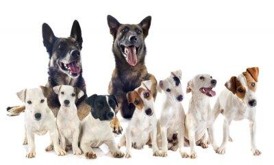 Sticker Gruppe von Jack-Russel-Terrier und Malinois