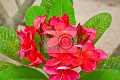Gruppe von roten Plumeria Blume auf Baum