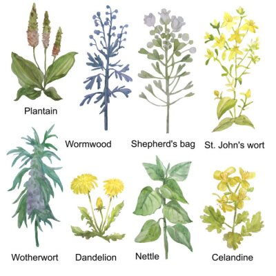 Sticker Hand-drawn watercolor medicinal forest and meadow herbs. Plantain, wormwood, shepherd's bag, St. John's wort, motherwort, dandelion, nettle and celandine isolated on white background.