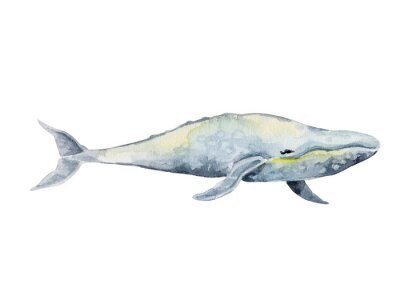 Handdrawn gray whale. Watercolor illustration isolated on white.