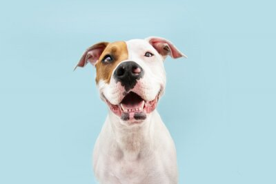 Sticker Happy American Staffordshire dog smiling. Isolated on blue background
