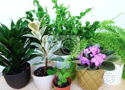 Heimpflanzen Fern, ficus, violett