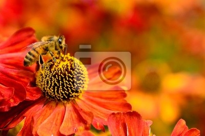 Honigbiene auf Helenium Blumen