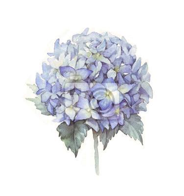 Hortensie Aquarell blau