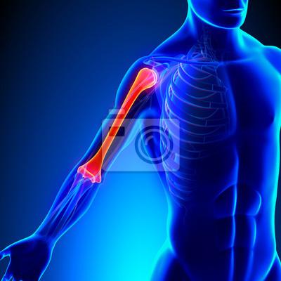 Humerus anatomie mit kreislauf-system notebook-sticker • wandsticker ...