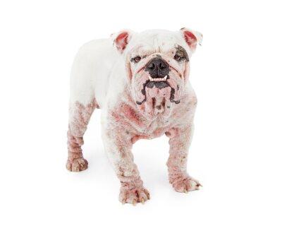 Sticker Hund mit Demodikose