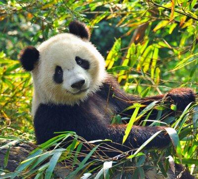 Sticker Hungry Riesenpandabären, der Bambus