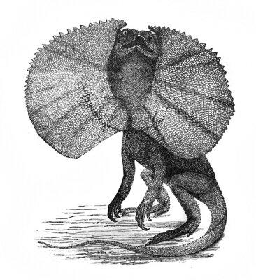 Illustration of frilled lizard Chlamydosaurus in the old book The Encyclopaedia Britannica, vol. 14, by C. Blake, 1882, Edinburgh