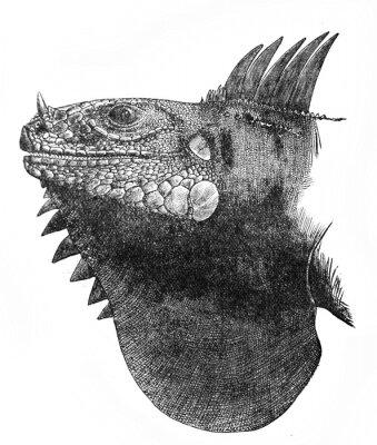 Illustration of Head of Leguan Iguana rhinolophus in the old book The Encyclopaedia Britannica, vol. 14, by C. Blake, 1882, Edinburgh