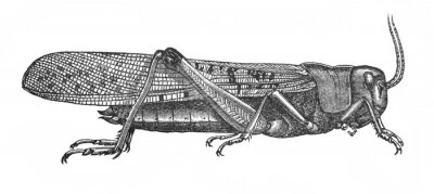 Illustration of insect locust Pachytylus migratorius in the old book The Encyclopaedia Britannica, vol. 14, by C. Blake, 1882, Edinburgh