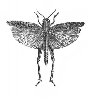 Illustration of insect prus or italian locust Caloptenus Itallicus in the old book The Encyclopaedia Britannica, vol. 14, by C. Blake, 1882, Edinburgh