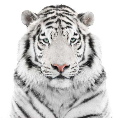 Sticker Isoliert weiße Tiger