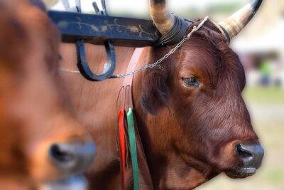 Italienische rote Kuh in der ländlichen Farm, Joch von Ochsen im ökologischen Landbau