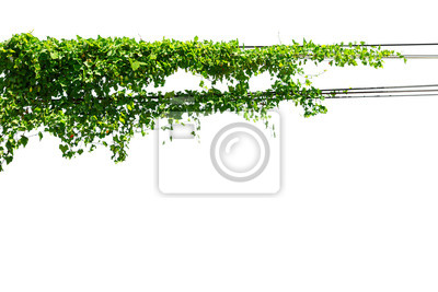 Sticker Ivy on the wire on a white background
