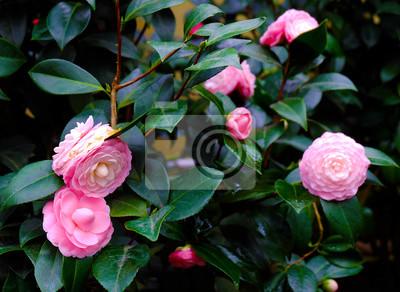 Japanische Kamelien. Rosa Kamelie. Rosa Perfektion. schöne Blume. .camellia Busch