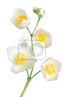 Jasmine Blumen
