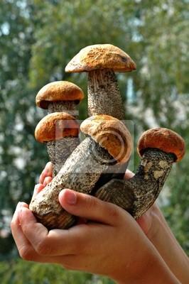 Junge aspen Pilze in den Händen des Kindes