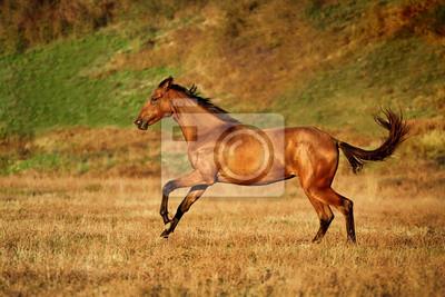 Junge Bucht Pferd läuft Galopp auf dem Feld