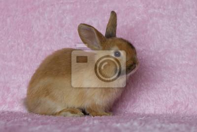 Junge Mini-lop Kaninchen auf rosa Hintergrund