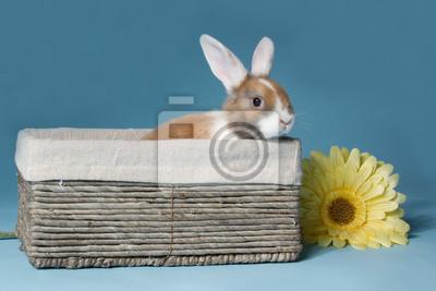 Junge Mini-lop Kaninchen im Korb
