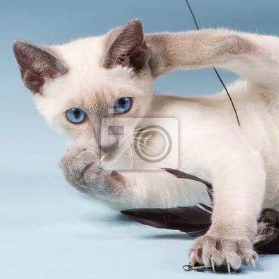 Junge siamesische Katze spielt mit Federn