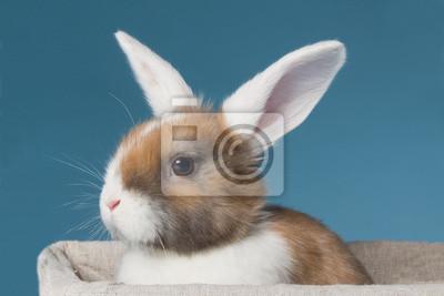 Junge weiße Ohr Mini-lop Kaninchen im Studio
