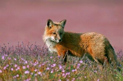 Sticker Junger roter Fuchs