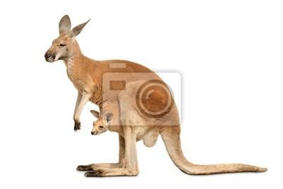 Sticker Känguruweibchen mit Jungtier auf weiß