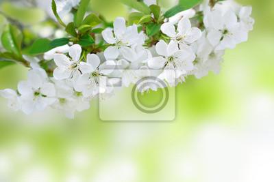 Kirschbaum blüht im Frühjahr in den Garten