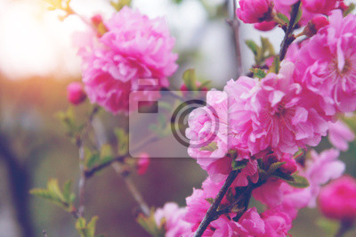 Kirschblüte oder Sakura Blume