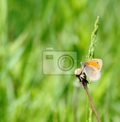 Kleine Heide Schmetterling