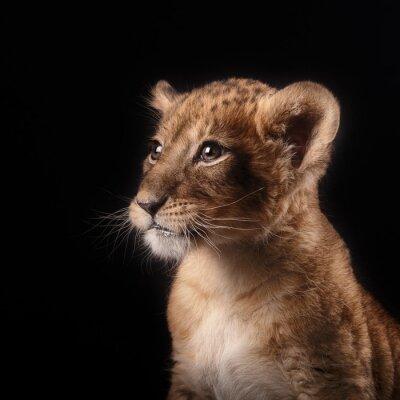 Sticker Kleine Löwenjunge auf schwarzem Hintergrund