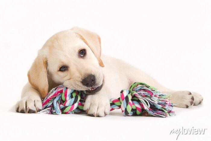 Sticker Labrador-Welpe beißt in einem farbigen Spielzeug