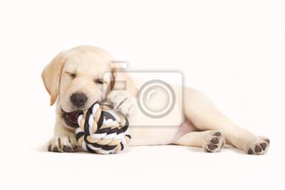 Labrador-Welpe beißt in einer Kugel