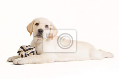 Labrador-Welpe mit einem beige Ball