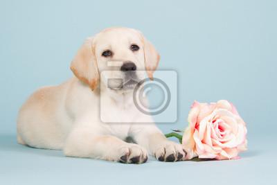 Labrador-Welpe mit einer rosa Rose