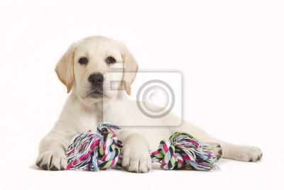 Labrador-Welpe mit farbigen Spielzeug